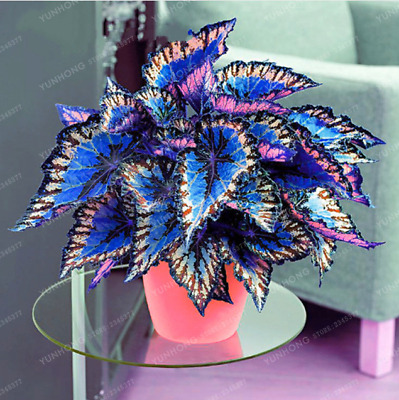 100 Pcs Seeds Japanese Bonsai Coleus Foliage Plants Color Rainbow Dragon Flowers
