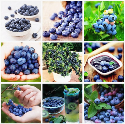 100 Pcs Seeds Blueberry Bonsai Edible Organic Fruit Dwarf Tree Potted Garden NEW