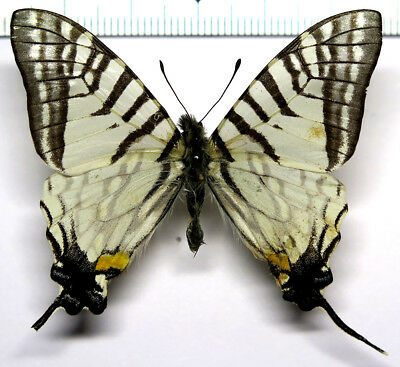Papilio eurous sikkimica male *Sikkim*