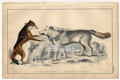 Cape Jackal And American Grey Wolf c1860 Hand Colored Lithograph Print