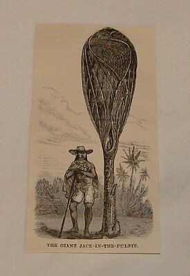1887 magazine engraving ~ GIANT JACK-IN-THE-PULPIT