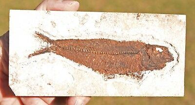 Fossil Fish, Knightia eocaena 6.0 inches, GRF, Kemmerer,  Wyoming, U.S.A.