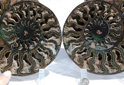 1737xx RARE 1in100 BLACK Ammonite PAIR Deep Crystal 110myo FOSSIL XXL 205mm 8.2""