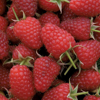 Raspberry Fruit Berry Tasty Garden Plant 5 Options Potted or Bareroot Polka T&M
