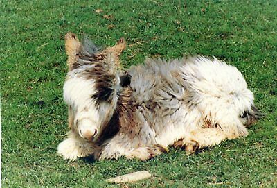 Cotswold Farm Park - England - Coloured Donkey Foal - Postcard View