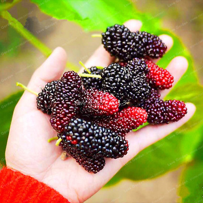 Mulberry Sweet Black Berry Giant Plants Fruit Tree Bonsai Garden 100 PCS Seeds I