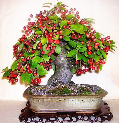 10 Pcs Seeds Cherry Bonsai Fruit Sweet Sylvia Dwarf Tree Plants Garden Potted O
