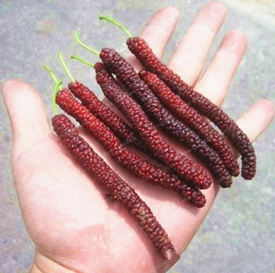 100 Pcs Seeds Long Mulberry Bonsai Tree Plants Pakistan Fruit Large Sweet Garden