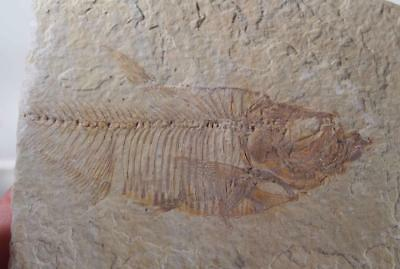 Fossil Fish: Green River Formation Wyoming 6.9 oz plate