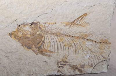 Fossil Fish: Green River Formation Wyoming 8.3 oz plate