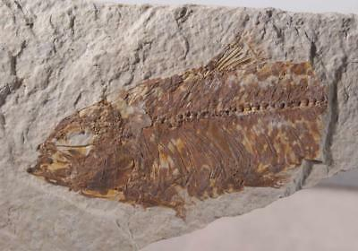 Fossil Fish: Green River Formation Wyoming 4.9 oz plate
