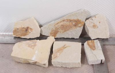 Fossil Fish: Green River Formation Wyoming 6 plate lot