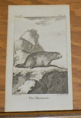1791 Antique Animal Print///MARMOUT
