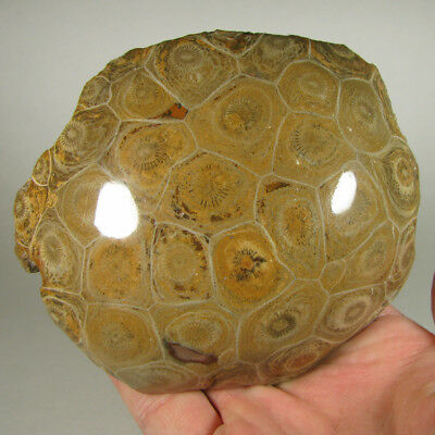 "4.5"" Polished FOSSIL CORAL Specimen - Devonian Age - Morocco - 1.5 lbs."