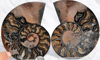 "7423 Fossil PAIR Ammonite Great Color Crystal Cavities LARGE 4.7"" 110myo 120mm"