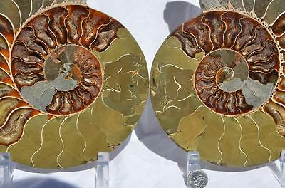 1500xx Cut Split PAIR Ammonite Deep Crystal Cavity 110myo Fossil 205mm XXXL 8.0""