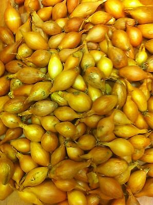 Onion Sets - Sturon - 1/4 Kilo  (Size 14/21 ~ Approx 60 - 70 Sets)