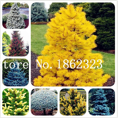 50 Pcs Seeds Climbing Spruce Bonsai Picea Tree Potted Courtyard Garden Pine NEW