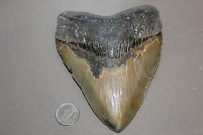"""MEGALODON Fossil Giant Shark Teeth Natural Large 5.34"""" HUGE BEAUTIFUL TOOTH"""