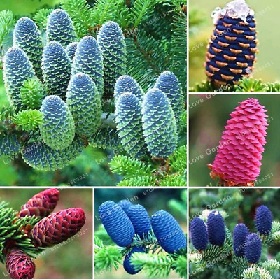 50 Pcs Seeds Korean Fir Abies Koreana Bonsai Flowers Plants Garden Purple Tree Y