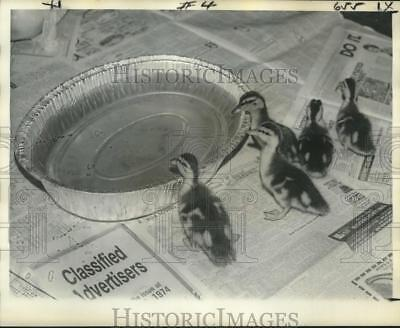 1974 Press Photo Ducklings near Pan of Water - nob00745