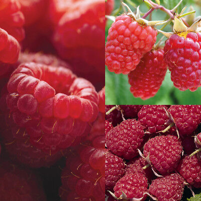 Raspberry Fruit Hardy Shrub Plant Full Season Collection 9 or 18 Bareroots T&M