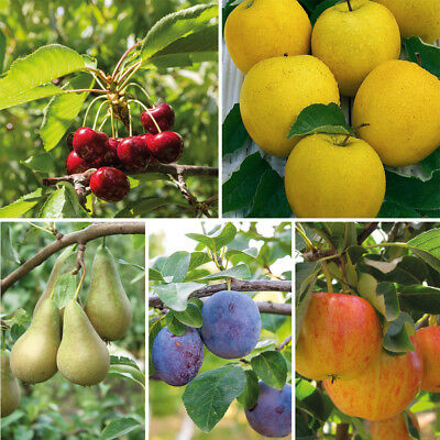 Garden Mini Fruit Tree Collection Plants Apples Pears Cherries or Plums T&M NEW