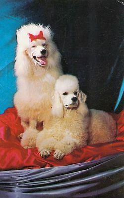 Vintage Postcard PC 2 White Poodle Dogs Alfred Mainzer USA c1960s
