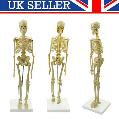 Anatomy Medical Human Model Learn Anatomical Skeleton Stand Poster Aid UK
