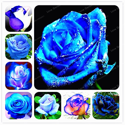 Blue Rose Flowers Perennial Bonsai Home Garden Plants 50 Pcs Seeds Free Shipping