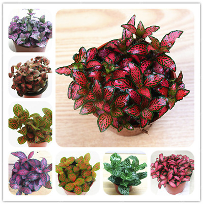 Fittonia Verschaffeltii Bonsai Mini Balcony Potted Flowers Garden 100 Pcs Seeds
