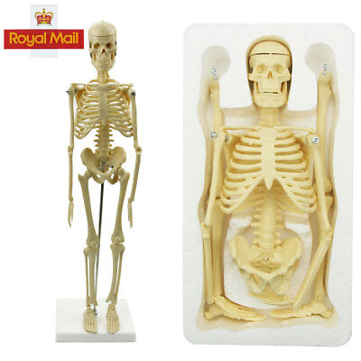 Anatomy Medical Learn Anatomical Skeleton Stand Poster Aid Human Model 45CM