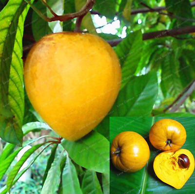 10 Pcs Seeds Lucuma Nervosa Egg Yolk Fruit Bonsai Tree Plants Garden NEW 2019 B