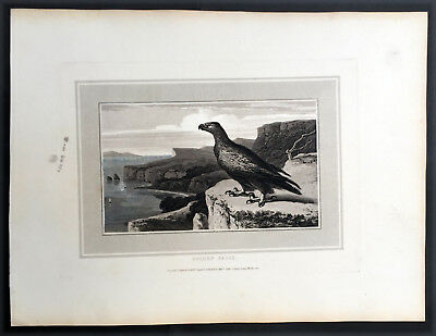 1807 William Daniell Antique Print of The Beautiful Golden Eagle