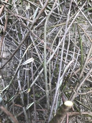 Olive Tree Twigs For Arts And Crafts 20 Approx Up To 40cm