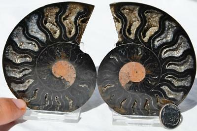 9456 RARE 1in100 BLACK Ammonite PAIR Deep Crystals 110myo FOSSIL LRG 86mm 3.4""