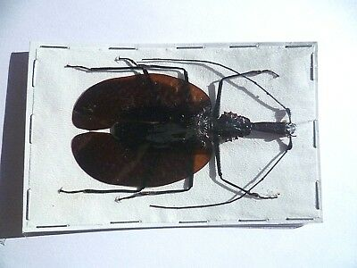 Mormolyce phyllodes , UNMOUNTED, SIN MONTAR A1