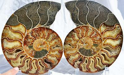 "1612nxx Cut Split PAIR Ammonite 215mm Deep Crystal Cavity 110my XXLG 8.5"" Fossil"