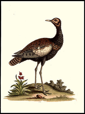 The Indian Bustard 1758 George Edwards Copper Plate Engraving Hand-Colored