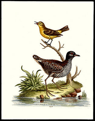1760 Yellow Wren & Least Water-Hen  Edwards Copper Plate Engraving Hand-Colored