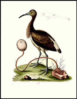 1764 Lesser Ibis & Animal Plant  Edwards Copper Plate Engraving Hand-Colored