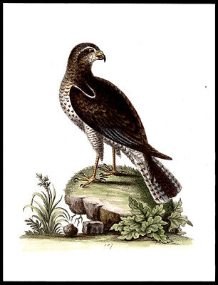 1750 The Ring-Tailed Hawk George Edwards Copper Plate Engraving Hand-Colored