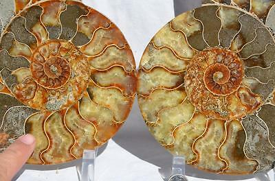 1497xx Cut Split PAIR Ammonite Deep Crystal Cavity 110myo Fossil 205mm XXXL 8.0""