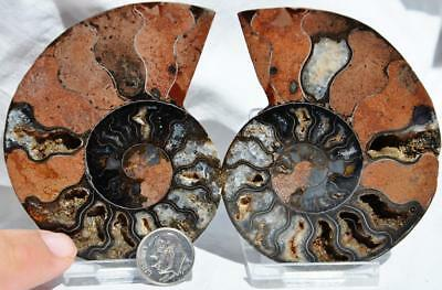 """8682 RARE 1 in 100 BLACK Ammonite PAIR Crystals LARGE 140gm FOSSIL 85mm 3.3"""""""