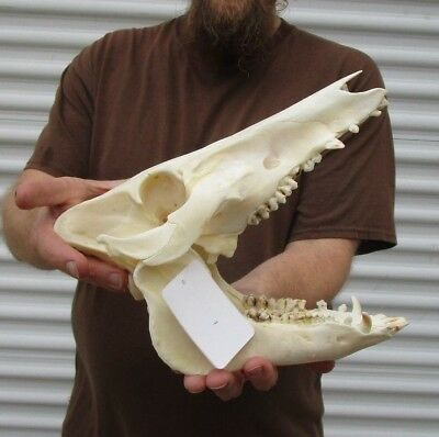 Real 11 inch North American Wild Boar Skull Pig Swine Taxidermy #36182