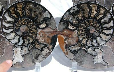 9052x RARE 1in100 BLACK Ammonite PAIR Deep Crystals 110myo FOSSIL XXL 205mm 8.1""
