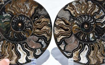 2239xx Cut Split PAIR Ammonite Deep Crystal Cavity 110myo Fossil 205mm XXXL 8.1""