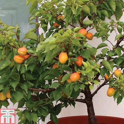 Apricot 'Aprigold' Hardy Frost Resistant Garden Fruit Tree 1 Bare Root T&M NEW