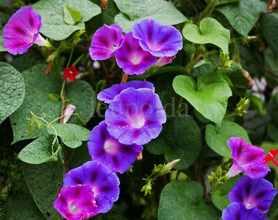 5 Seeds MORNING GLORY MIX Multi Color Ipomoea tricolor ANNUAL CLIMBING FLOWER 9