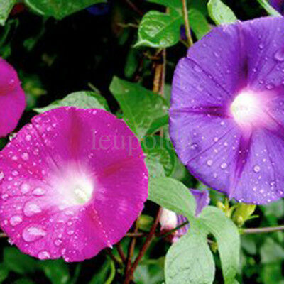 5 Seeds MORNING GLORY MIX Multi Color Ipomoea tricolor ANNUAL CLIMBING FLOWER 6
